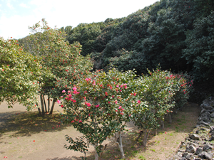 【 subaki Camellia trees in colonies 】 From Yuzuya Honten, it takes 50 min of walk. 7 min of driving.