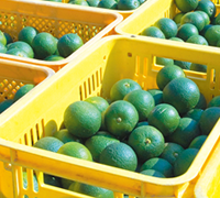 We carry the fruits that we pick each season into the factory
